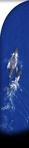 aerial graphic of humpback whales
