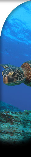 Sea turtle right sidebar graphic