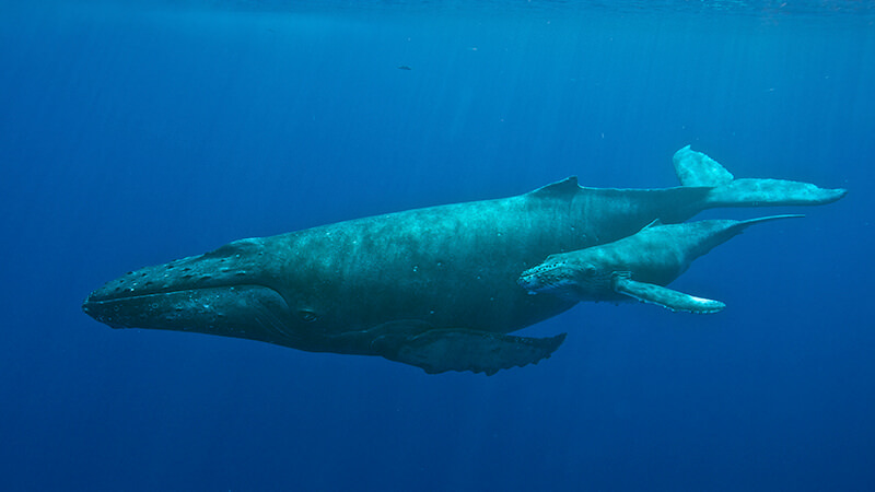 A mother humpback whale swims with her calf