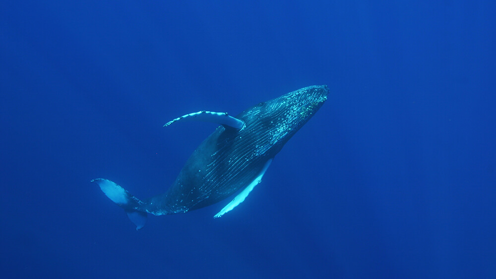 A humpback whale swims under water