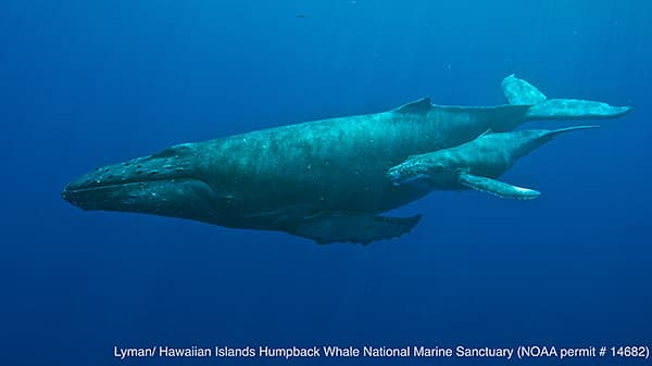humpback whale mother and calf swimming together
